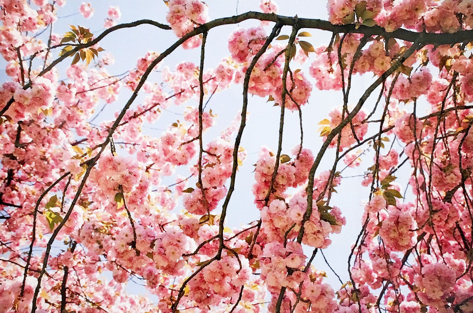 Madelyn Jordon Fine Art Susan Wides Cherry Blossom 2